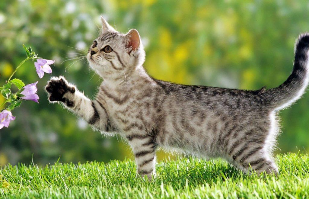 แมวลาย แมวนำให้โชค