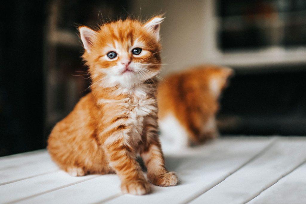 ลูกแมวให้โชค