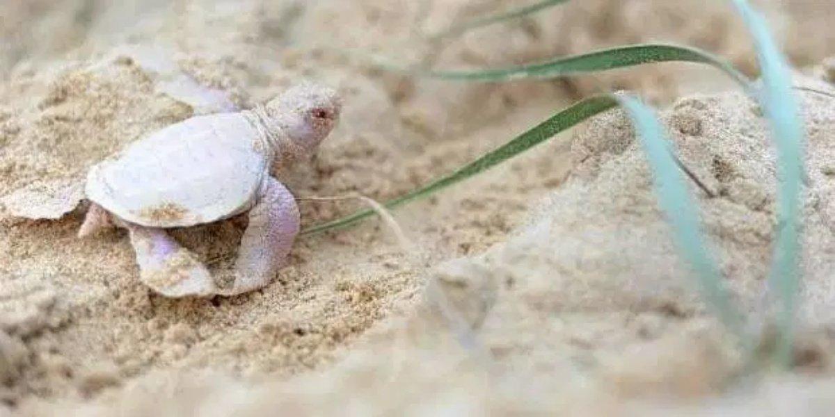 เต่าเผือก