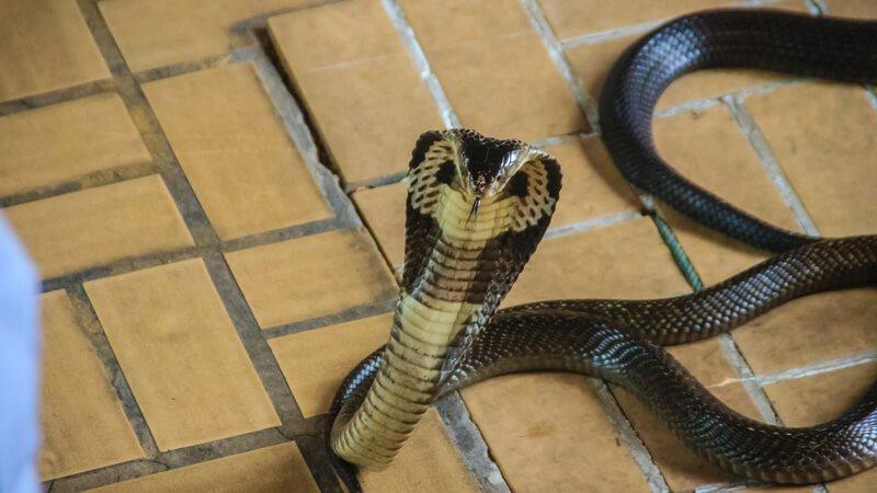 งูเห่าเลื้อยเข้าบ้าน