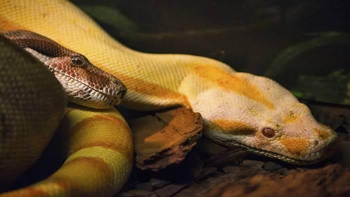 งูเหลือมหลายตัว