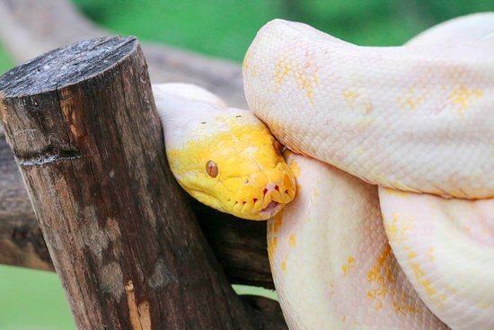 งูเหลือมเผือกตัวใหญ่