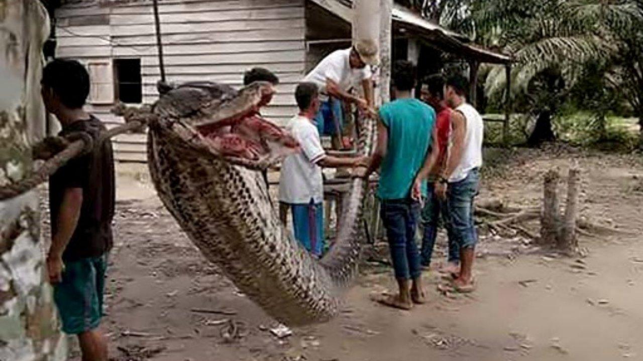 ชาวบ้านช่วยกันจับงูเหลือม