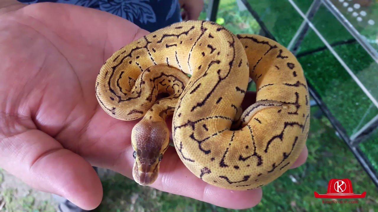 งูเหลือมวางไว้บนมือ