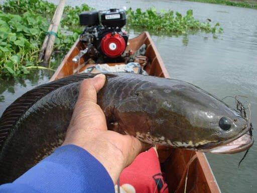 มือคนจับปลาช่อน