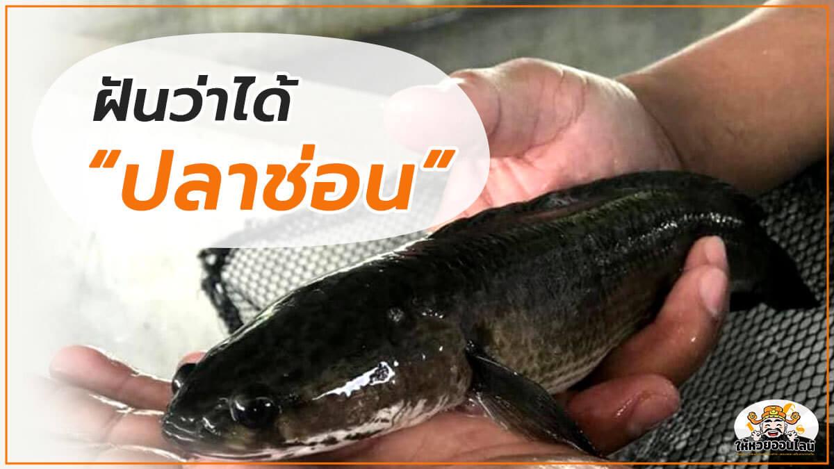image-อยู่ ๆ ก็ฝันว่าได้ปลาช่อน เป็นงง ดีหรือร้าย!