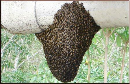 รังผึ้งเกาะอยู่บนต้นไม้