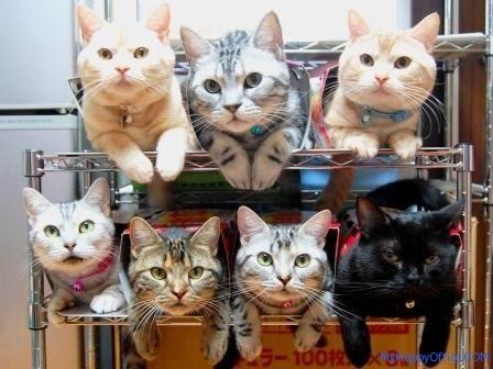 แมาวหลายตัวนั่งอยู่บนชั้นวางของ