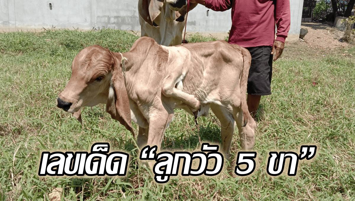 """image-เผยเลขเด็ด """"ลูกวัว 5 ขา"""" ชาวบ้านเชื่อเป็นลูกวัวนำโชค"""
