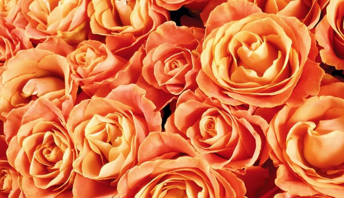ดอกกุหลาบส้ม