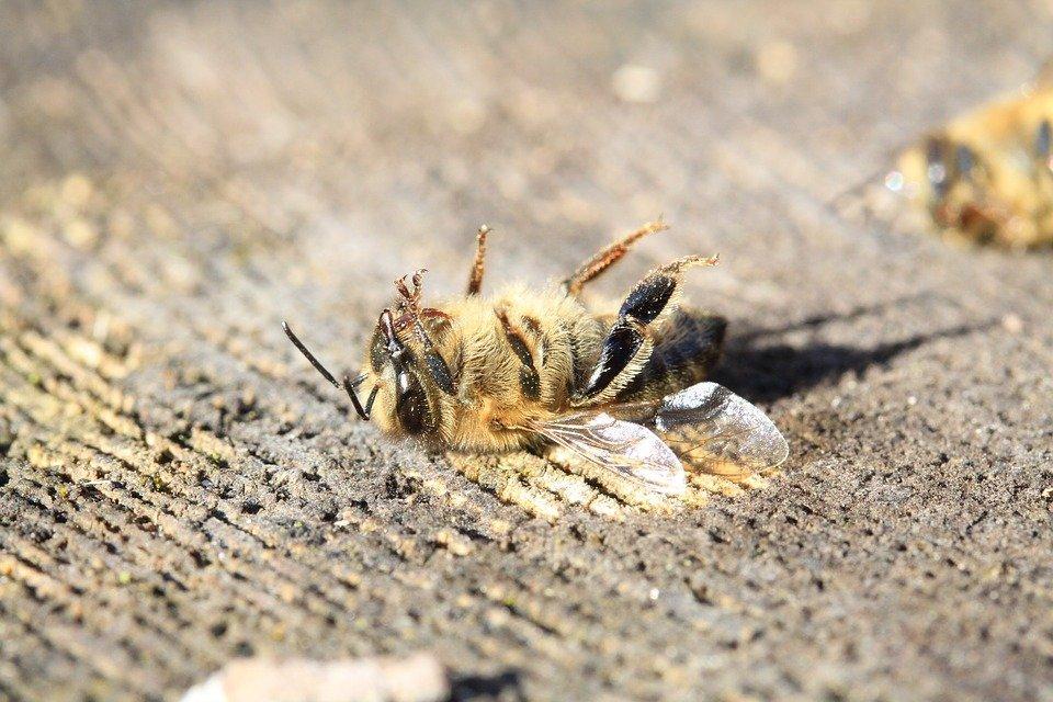 ผึ้งตายอยู่บนพื้น