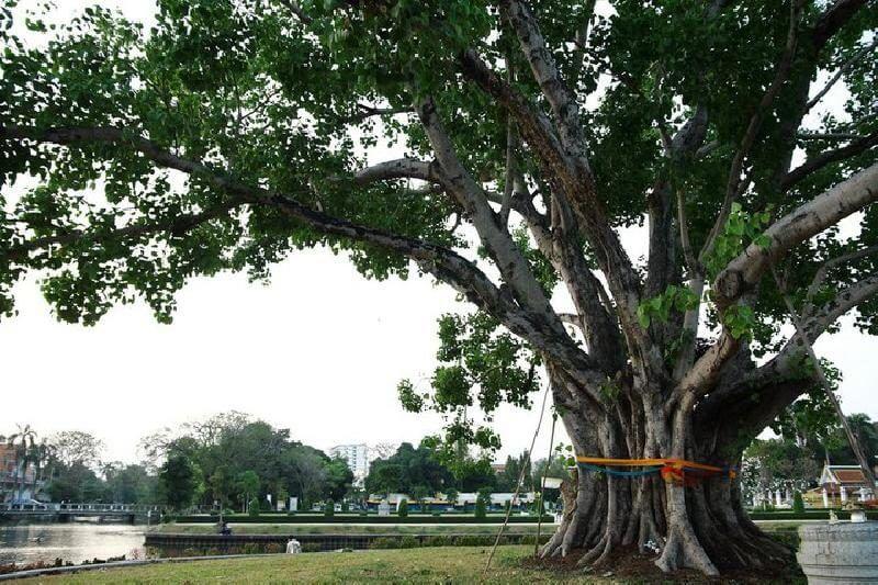 ต้นโพธิ์ในสวนสาธารณะ