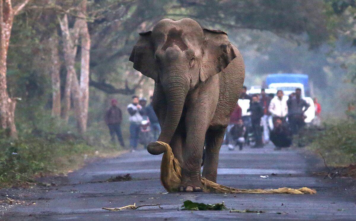 ช้างวิ่งไล่