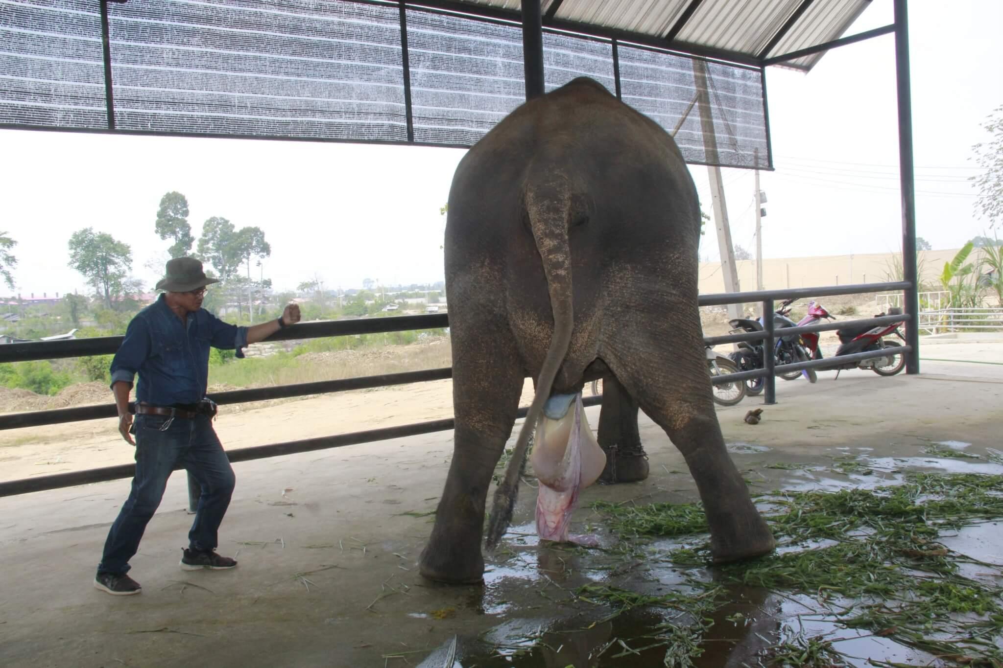 ช้างคลอดลูก