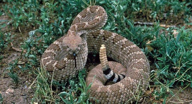 งูหางกระดิ่ง