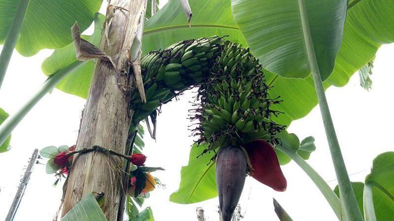 ต้นกล้วยปลีพญานาค