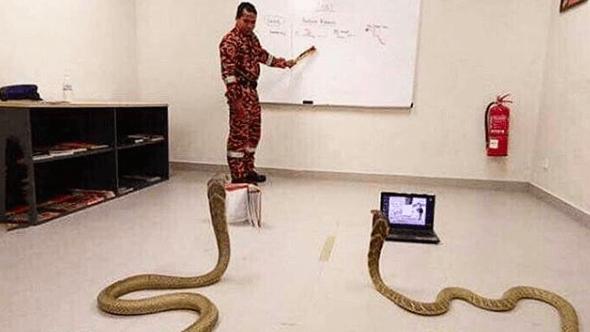 งูจงอาง 2 ตัว