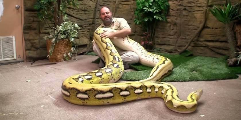 งูเหลือมสีเหลือง