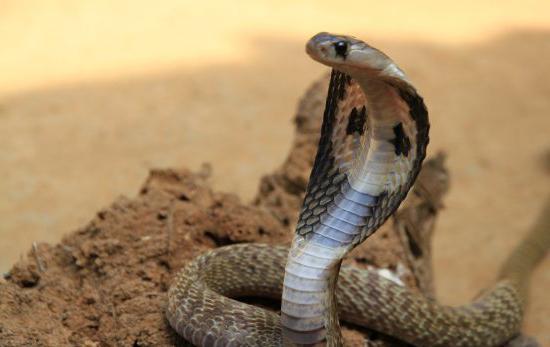 งูเห่าแผ่แม่เบี้ย