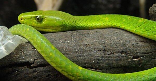 งูเขียวบนขอนไม้
