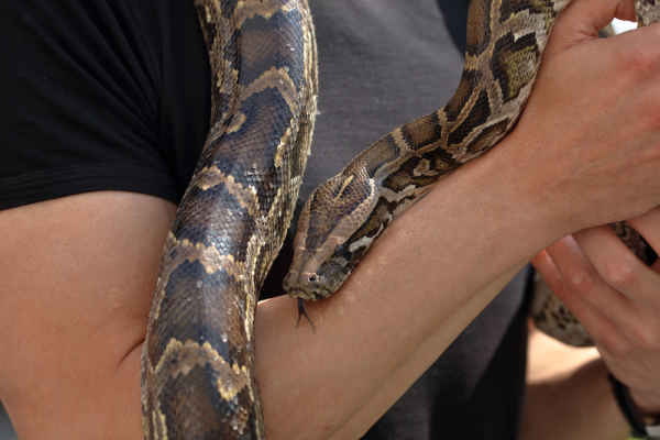 งูหลามเลื้อยแขน