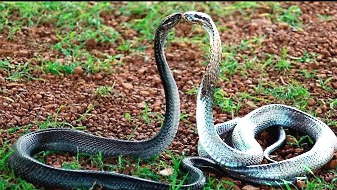 งูสู้กัน