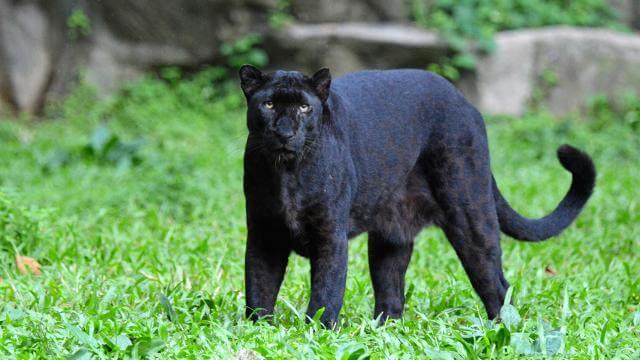เสือดำในป่าหญ้า