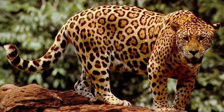 เสือจากัวร์ตัวใหญ่
