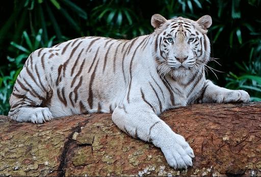 เสือโคร่งขาวเกาะต้นไม้